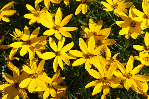 Valokuvatapetti Coreopsis zagreb or threadleaf coreopsis or tickseed golden many yellow flowers