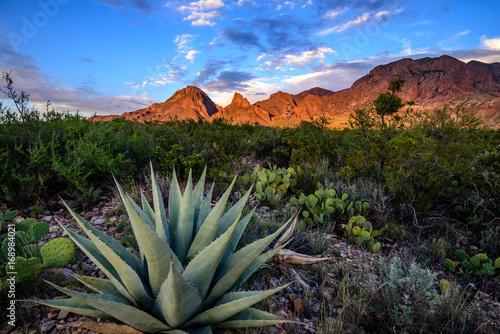 Agave cactus Canvas