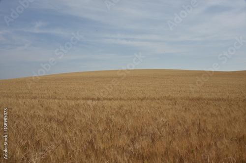 Photo Stands Night blue campo di grano nelle colline della Provenza francese