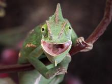 Green Chameleon Hunting. Portr...