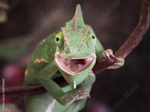 Foto op Plexiglas Kameleon Green chameleon hunting. Portrait of an exotic animal. Macro