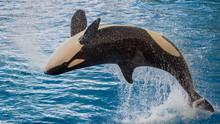 The Killer Whale (Orcinus Orca)