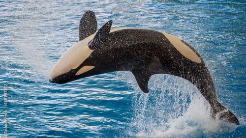 Photo The killer whale (Orcinus orca)