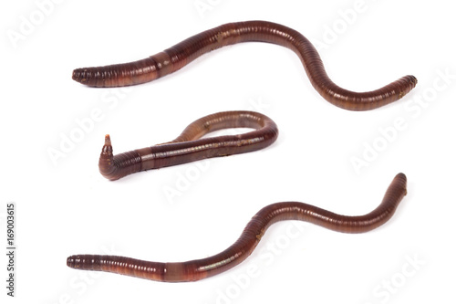 worm or earthworm on white background