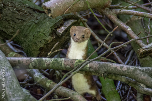 Fotografie, Obraz  Curious weasel in the forest