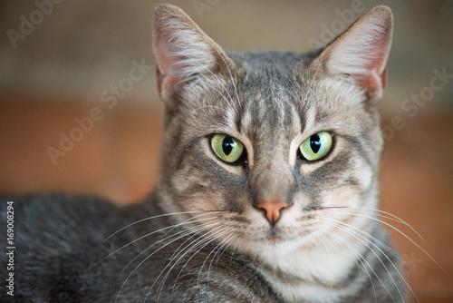Tuinposter Eekhoorn Tiger cat looking with green eyes