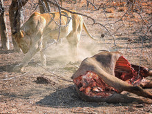 Lioness Who Devoured An Antelope