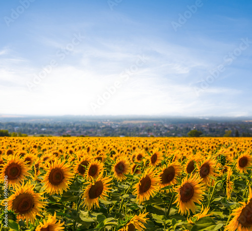 Foto auf Gartenposter Landschappen sunflower field at the early morning