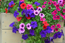 Red, Blue And Purple Flowers Of Petunia In A Wooden Box
