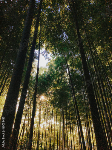 Bamboo Forest on Sunny Morning