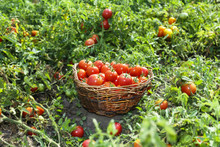 Freshly Picked Tomatoes. A Large Basket With Cherry Tomatoes Lying On The Summer Grass Among Growing Tomatoes.