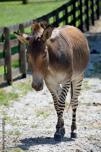 Zonkey half donkey and half zebra mix at animal reserve