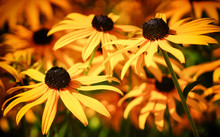 Orange Coneflower, Rudbeckia F...