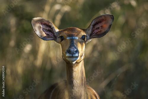 Foto Nyala South Africa
