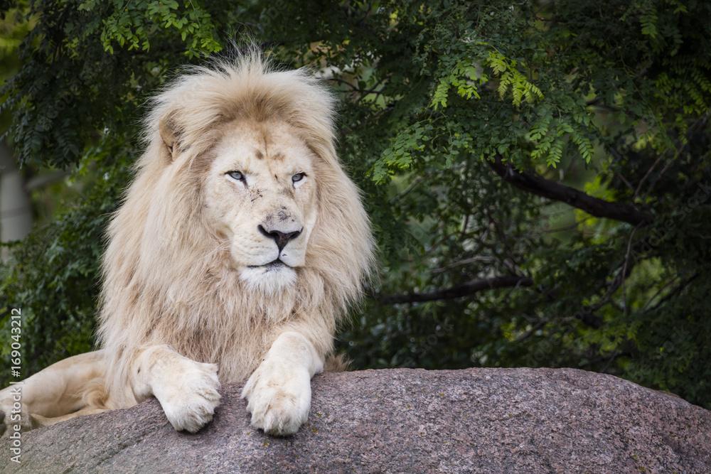 Fototapeta King of the White Lion