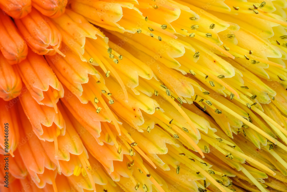 Fototapety, obrazy: Macro View of Kniphofia Bengal Fire showing natural pattern with vibrant colors