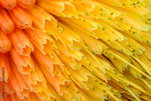 Photo  Macro View of Kniphofia Bengal Fire showing natural pattern with vibrant colors