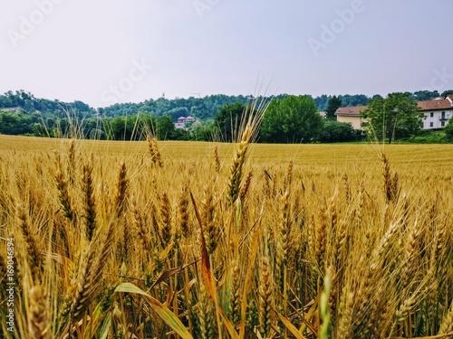 Fototapeta campo di grano con spighe mature