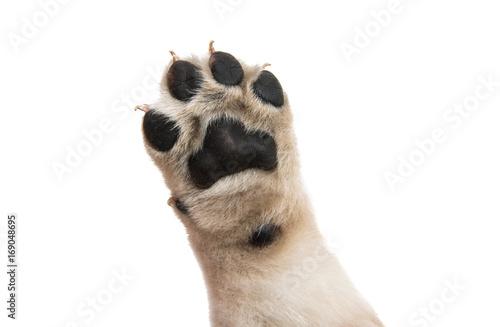 Obraz puppy paw isolated - fototapety do salonu