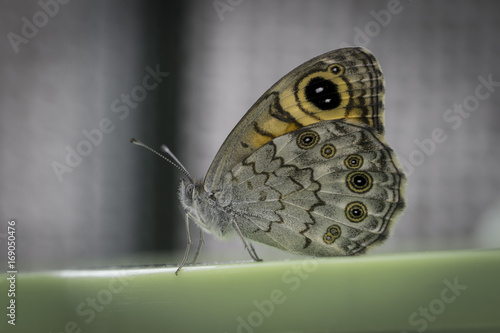 Fotografie, Obraz  Mariposa búho