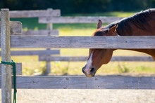 Chestnut Horse In Pen Chewing ...