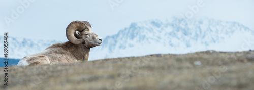 Foto op Aluminium Schapen Bighorn