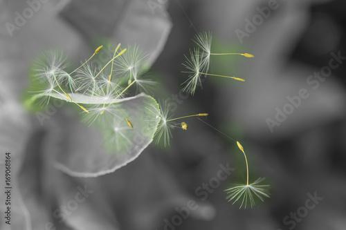 nasiona-mniszka-w-zblizeniu-na
