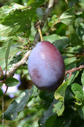 Blue Stanley plum on a tree. Fotomurales