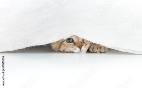 Fotomural Funny cat hidden under small white curtain isolated