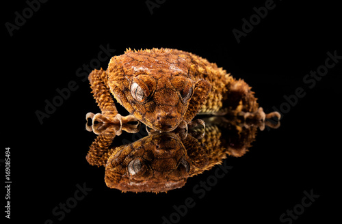 Rough Knob Tailed Gecko (Nephrurus amyae) looking at its reflection