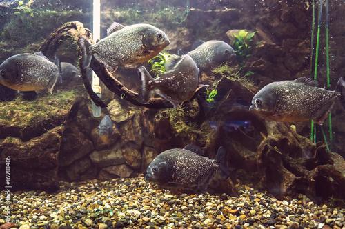 Photo Aquarium with a lot of piranhas
