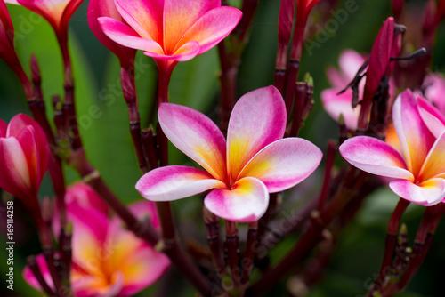 Deurstickers Frangipani Plumeria