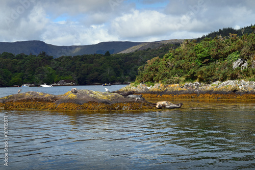 Seals In Bantry Bay Canvas Print