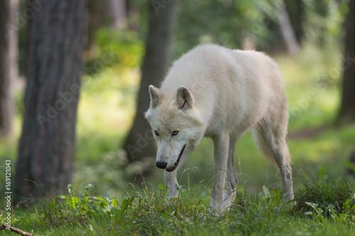 Photo  Loup arctique