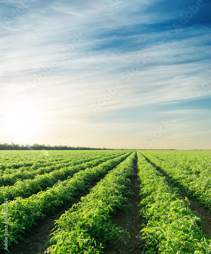 sunset over agriculture field with tomatoes Wallpaper Mural