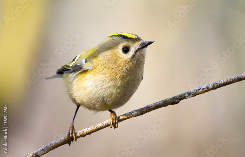 Montage in der Fensternische Vogel Goldcrest (Regulus regulus) - the smallest bird of Europe, sitting on a branch