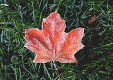 Beautiful Autumn Maple Leaves ...