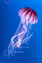 Pacific Sea Nettle Chrysaora M...