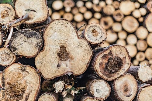 Trees, felled, diseased wood. Cut down diseased oak trees in the forest,