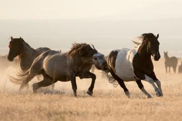 Wild mustang horses running in the desert