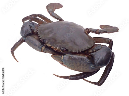 Giant mud crab isolated