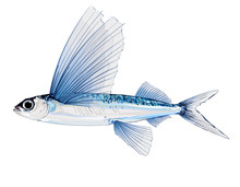 Flying Fish In Watercolor