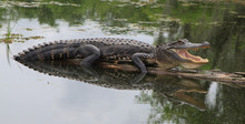 Alligator Sunning On A Log