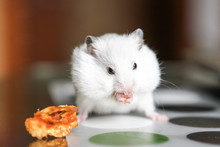 Cute Funny White Hamster Eating An Apple