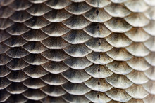 Fish Scales Skin Texture Macro View. Geometric Pattern Photo Crucian Carp Carassius Scaly With Lateral Line. Selective Focus, Shallow Depth Field.