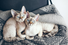 Two Adorable And Funny Devon Rex Cats With Blue Eyes Are Sitting Together On The Soft Wool Blanket And Looking At Camera.
