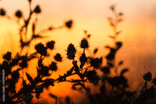 Poster Oranje eclat Silhouette of grass on a golden sunset