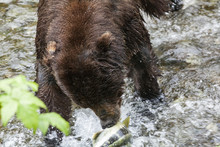 Adult Grizzly Hunts For Pink S...