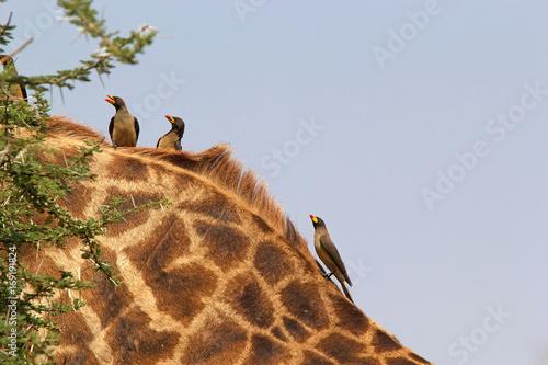 Staande foto Leeuw Yellow billed oxpecker (Buphagus africanus)
