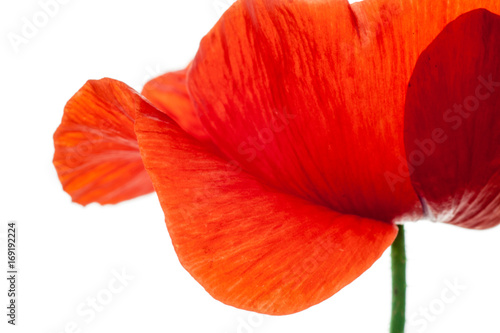 Foto auf Leinwand Rot wonderful isolated red poppy flower, white background. studio shot, closeup